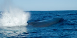Pygmy blue whale off southern Australia directly linked to Indonesian waters